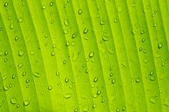 Banana leaf with water drops Stock Photography