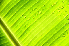 Banana leaf with water drops Stock Photos
