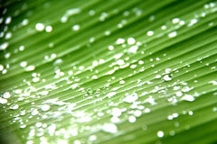 Banana leaf with water drops Royalty Free Stock Image
