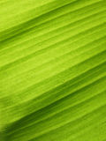 Banana leaf with water drops Royalty Free Stock Images