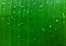 Banana leaf. Water on green banana leaf Royalty Free Stock Images