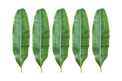 Banana leaf. Stock Photos