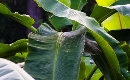 Banana leafs. Green banana leafs in deep tropical forest in northern thailand Royalty Free Stock Images