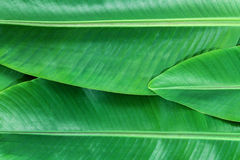Banana leafs background Stock Photos