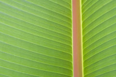 Banana leave Stock Images