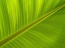 Banana leave Royalty Free Stock Photo