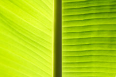 Banana leave background Royalty Free Stock Image