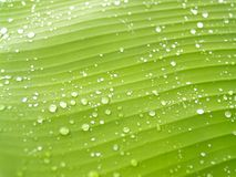 Banana leaves 2 Royalty Free Stock Photo