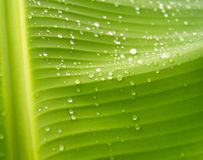 Banana leaves 4 Royalty Free Stock Image
