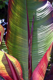 Banana Leaves royalty free stock photography