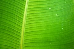 Banana leaves. abstract background royalty free stock images