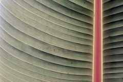 The banana leaves as a background. The close up of banana leaf has a red vein Stock Images