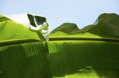 Banana leaves. Are green with blue skies Royalty Free Stock Photo