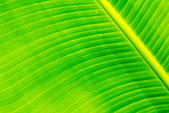 Banana leaves. Bright colors can be used to advantage Royalty Free Stock Image