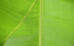 Banana leaves close up image, with rain drops Stock Photography