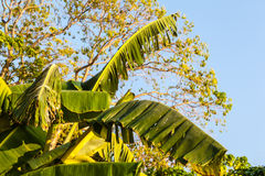 Banana leaves. Close up shot of some banana leaves in a tropical island stock image