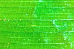 Banana leaves2 Stock Photography