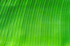 Banana leaves. On green background Stock Photos