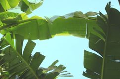 Banana leaves. Are green with blue skies Royalty Free Stock Images