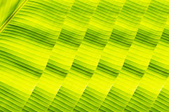 Banana leaves. Green natrue backgroud royalty free stock image