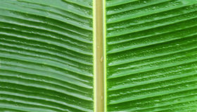 Banana leaves Royalty Free Stock Image