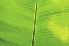 Beautiful Banana leaves with sun shine royalty free stock photo