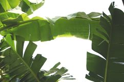 Banana leaves. Are green with White background Stock Image