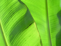 Banana Leaves III Stock Images
