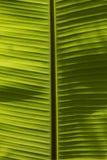 Banana leaves Stock Photos