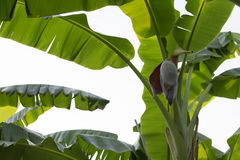 Banana leaves isolated on white background Royalty Free Stock Photos