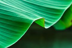 Banana leaves. Royalty Free Stock Photos