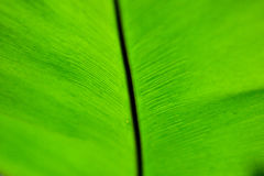 Banana leaves macro Royalty Free Stock Image