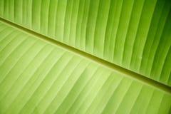 Banana leaves. Park consists of a banana tree Stock Photo