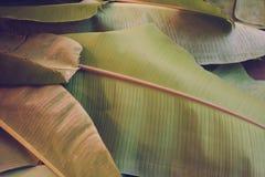 Banana leaves pattern background | Natural closeup environment Stock Photography