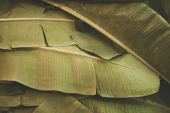 Banana leaves pattern background | Natural closeup environment Royalty Free Stock Images