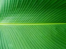 Banana leaves pattern. Green leaf Close up. Banana Leaves Pattern. Green Banana Leaf Close up. Can be used for Background or Wallpaper or Texture stock images