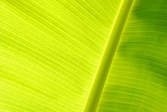 Banana leaves, rain. Banana leaves are light green in the rainy season is a bright green background for the presentation Royalty Free Stock Photo