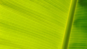 Banana leaves, rain. Banana leaves are light green in the rainy season is a bright green background for the presentation Royalty Free Stock Images