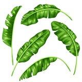 Banana leaves set. Image of decorative tropical foliage Royalty Free Stock Photos