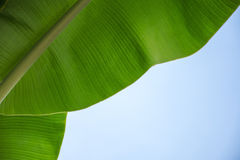 Banana leaves on sky Royalty Free Stock Photo