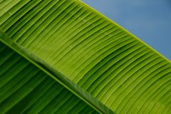 Banana leaves photographed during the day royalty free stock photo