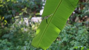 Banana leaves in the sun in Garden at Phu Quoc Island, Kien Giang province, Vietnam. Close up banana leaf in the sun in garden, Phu Quoc island, Kien Giang stock footage