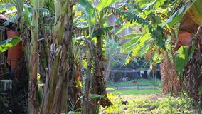 Banana leaves in the sun in Garden at Phu Quoc Island, Kien Giang province, Vietnam. Banana plants in the sun in garden, Phu Quoc island, Kien Giang province stock footage