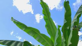 Banana leaves swaying in the wind stock video footage
