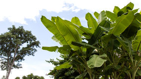 Banana leaves on trees. Low angle close-up of banana leaves in a garden with big trees in the distance Royalty Free Stock Photography