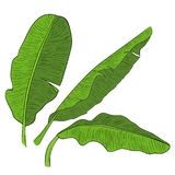 Banana leaves vector Stock Photography