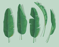 Banana leaves. Vector set with banana leaves Stock Photos