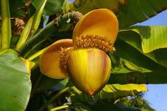 Banana magnifica con il fiore Fotografia Stock