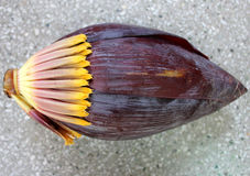 Banana male inflorescence. Plantain, French plantain, Kela, Musa x paradisiaca, red terminal inflorescence with large fleshy red bracts enclosing two rowed stock images