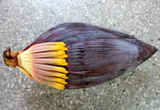 Banana male inflorescence. Plantain, French plantain, Kela, Musa x paradisiaca, red terminal inflorescence with large fleshy red bracts enclosing two rowed stock image